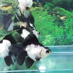 Tropical fish conwy north wales for Cold water aquarium fish
